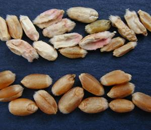 Grano de trigo con fusarium